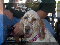 English Setter Maggie