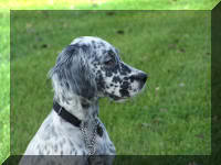 English Setter Profile