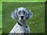 English Setter Head Molly